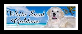 exquisite english cream golden retriever puppies in alabama