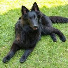 belgian sheepdog pros and cons belgian sheepdog origin belgium colors black size large type of
