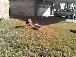 boxer dog youtube 60 best that u0027s our dixie images on pinterest boxers pitbull