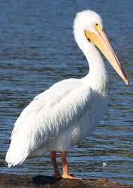 american white pelican pelecanus erythrorhynchos breeds in