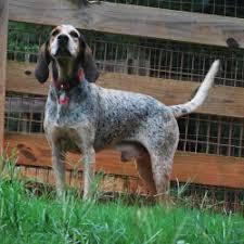 bluetick coonhound reviews 38 best coonhounds images on pinterest hound dog bluetick