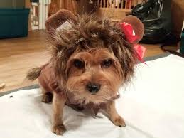 wizard of oz cowardly lion dog halloween costume with same day