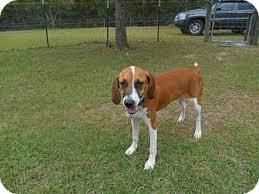 bluetick coonhound rescue georgia angel adopted dog jesup ga treeing walker coonhound boxer mix