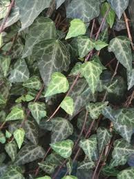 climbing plants for shade shade plants plants ground covering