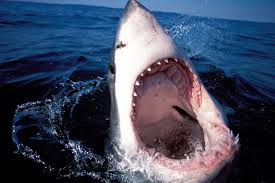 great white sharks are swarming cape cod and it u0027s the government u0027s