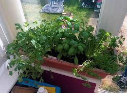 window herb gardens windowsill herb garden how to grow indoor plants expert