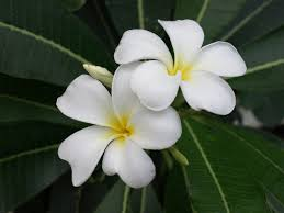 plumeria flower plumeria care how to grow plumeria