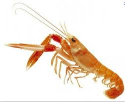 comment cuisiner les langoustines comment chartrer une ecrevisse une langoustine ou une crevette