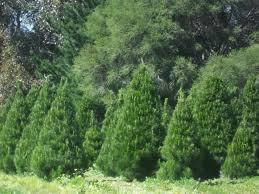 keysborough christmas tree farm