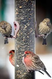 why male house finches can be different colors you are what you