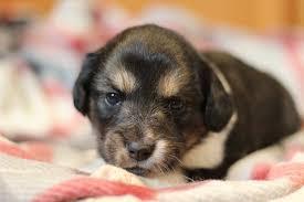 affenpinscher illinois romeoville il sheltie shetland sheepdog meet cassie u0027s pup