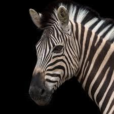zebra images 23