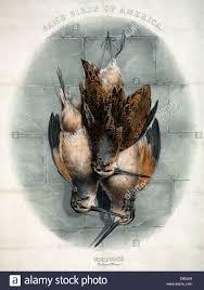 game birds of america woodcock scolopax minor three dead