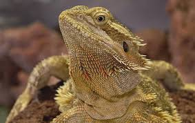 bearded dragon colors morph patterns pictures