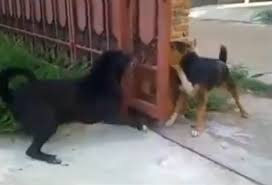 Dog Barking Meme - dogs don t want to fight bark through a bit of fence instead