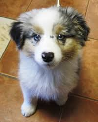 south dakota australian shepherd australian shepherd puppy dogs pinterest australian shepherd