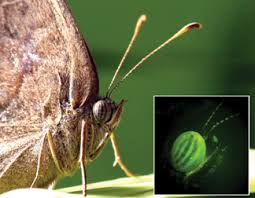 green butterfly that s genetically modified