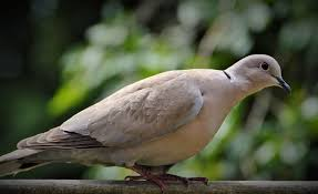 dove and pigeon identification tips