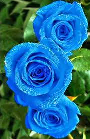 Blue Roses For Sale Blue Rose I Would Like To Know Where These Come From They Are So