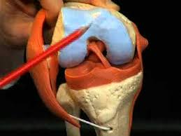 Interactive Knee Anatomy Deluxe Functional Knee Joint Anatomical Model A82 1 Youtube