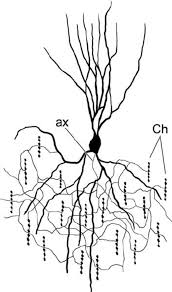 chandelier cells schematic drawing of a chandelier cell in the human neocortex