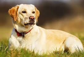 american eskimo dog in india labradors retriever dogs breeds in india pets world