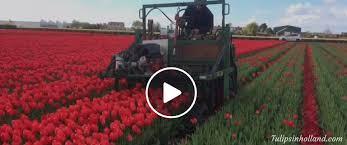 Flower Area - best time to visit keukenhof tulips in holland