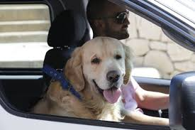 driving with dogs road trip tips dogtime