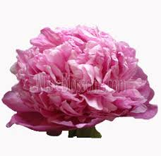 Peonies Flower Order Fresh Wedding Peony Flower Online In March For Sale