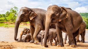 asian elephant animal profile