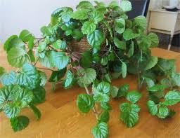 intriguing swedish ivy houseplants wearefound home design