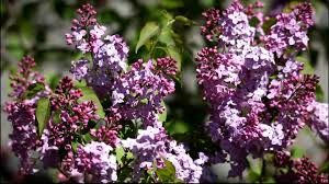 the lilac flowers youtube