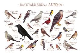 Arizona birds images Arizona backyard birds field guide art print kate dolamore art jpg