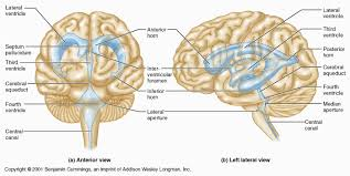 Anterior Association Area Central Nervous System