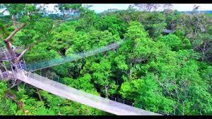 canopy amazon ceiba tops canopy walkway amazon rainforest peru south america