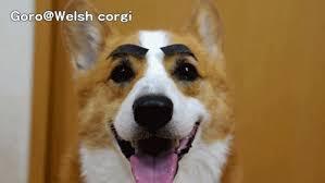 Corgi Birthday Meme - corgi birthday gif 6 gif images download