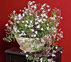 Fragrant Jasmine Plant - unusual house plants jasmine yummy fragrant blooms garden