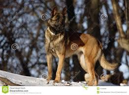 belgian sheepdog for adoption malinois snow stock photos images u0026 pictures 103 images