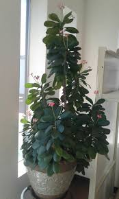 crown of thorns care plants for home pinterest crown