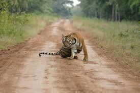 tiger jungle safari in seoni machaan a division of