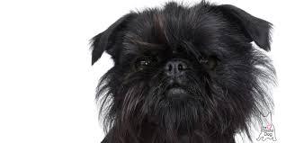 affenpinscher photos affenpinscher nose butter handcrafted balm for your dog u0027s dry nose