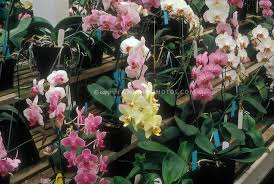 orchid plant orchid stock photos species hybrids images plant flower