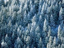 wallpaper christmas tree forest kapanlagi com