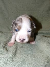 australian shepherd 3 weeks old lacey and wyatt u0027s pups at 3 weeks old kicks and giggles mini