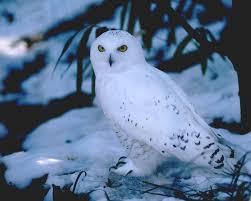 free snowy owl wallpaper animals town