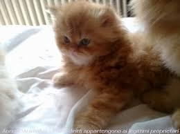 gatti persiani bianchi cuccioli persiani point crema e bicolori vendita