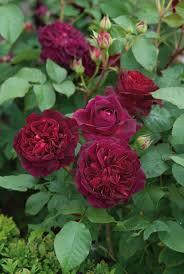 172 best english roses images on pinterest english roses