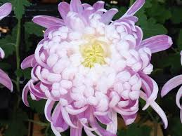 japanese native plants a japanese take on the famous chrysanthemum the riverdale press