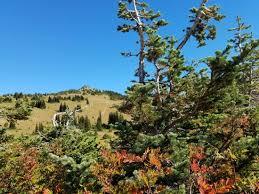 glacier and douglas fir tallest tree species in mt rainier