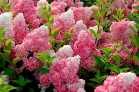griffith propagation nursery woody ornamentals and perennials